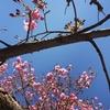 心を融解してくれた早咲きの桜