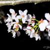 【撮影記録】仕事帰りに千鳥ヶ淵公園でお花見してきた〜iPhoneをライト代わりに使って夜桜を綺麗に撮影!