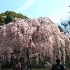 京都御所のしだれ桜