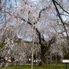 京都で花見