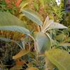 コモンセージ Salvia officinalis