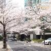 春、さくら並木を歩く スペイン坂 Sakura