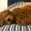 愛犬(トイプードル)の写真と動画を淡々と貼る記事。生後75日ごろ
