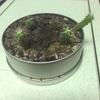 サボテン 種を植えてから約1年経過ーー!