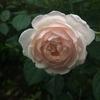 デスデモーナは開花については優秀ですね!