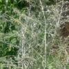 ニガヨモギ栽培2年目前半 やっと花が咲く。からのツジョン抽出