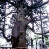 新潟の巨木と角田山