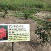 「マダム倶楽部」活動報告 私の心を写したような花が増えていた公園、祈りのバラと寂しげなアジサイ 6月6日