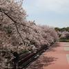 神戸)2021、王子公園、都賀川の桜。満開、散り始め、見ごろ。
