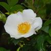 2013/04/25 ナニワイバラも開花