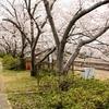 堤防沿いをぶらり花見!【里見川沿いの桜】@金光駅