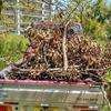 栗林の枯れ木を拾う