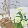 玄関先のアナベル、1年目の花の大きさは?