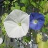 西洋朝顔の開花、直播きニゲラ