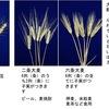 小麦と大麦(3) 自給率 日本人のエネルギーの6%を供給している小麦.  その自給率は12%(カロリーベース).日本めん用は国産60%で,小麦製品としては飛び抜けて優等生ですが,パンに至ってはなんと3%!日本で利用されている大麦の55%は飼料用ですが, 優等生は主食用.100%国産.最も需要が高いビール用,すなわちモルト(malt 麦芽)用は,自給率10%.