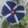 アサガオは、今日も咲いている。