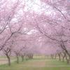 【北浅羽安行寒桜】の桜並木 早咲きのさくらは今週末見ごろ!