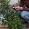 鉢植えの中に巣 セキレイひな5羽すくすく