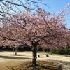 【散歩】小田原フラワーガーデン「渓流の梅園」。今見頃です