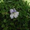 桐の花 Paulownia tomentosa