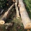 原木の玉切り 改善はされた Cutting logs to firewood size