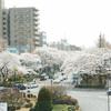 街が桜で溢れていた#1