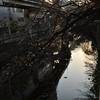 江戸川公園で桜の開花具合を見てきました。