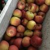 リンゴジュース&シードル造り