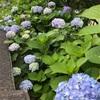 隅田公園のアジサイが咲き始めました