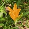 サロマウルトラを思い出す花「エゾカンゾウ」
