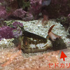 【ヤドカリが犯人】マガキ貝・ハナビラタカラ貝を捕食