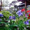 赤い花青い花・・・  〜わが家の花たち〜