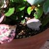 ミニバラ用に肥料を購入(ハイポネックス バラ専用 置肥)