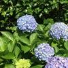 2-102   紫陽花が変色す…