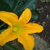 今年の家庭菜園の経過報告!少量多品種栽培は何品種になったか?