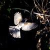 赤い実を咥えて白い羽を広げて飛ぶツグミ