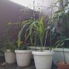 今日の家庭菜園