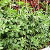 赤いそら豆(ハツヒメ)の生長を見守る