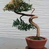 枯れた盆栽を捨てずに残す方法を考える 3