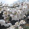 桜の季節がやっときた
