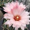 スーパー象牙丸の花