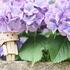 長い雨の季節の主役 - 紫陽花! のお写ん歩