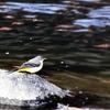 2時間散歩して出会える鳥(例外有)たちを紹介:キセキレイ、ホオジロ、ヌートリアなど