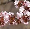 桜も梅もそしてコブシも満開です。