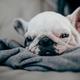 ゴールダーの子犬、生後10ヶ月の成長と変化