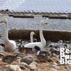 福島市で白鳥に会える場所!!「個人的にはカモも好き。」