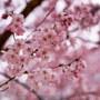 【仙台・勾当台公園】錦町公園のコヒガンザクラで仙台の春に触れる March 2020