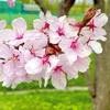 栗山公園の桜を見てきました〜魔法使いによるリベンジ〜