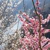 【2018】関西の梅の見ごろと混雑は?おすすめスポット5選