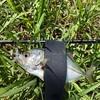 死滅回遊魚調査とハタのミノーイング